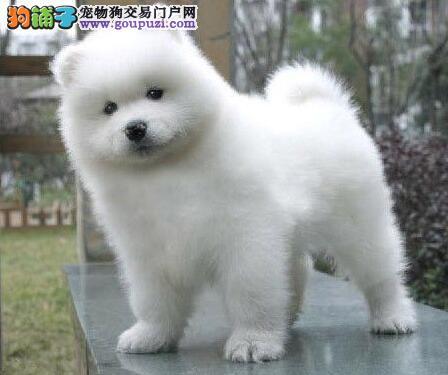 精品萨摩耶郑州唯一正规犬舍直销萨摩微笑天使