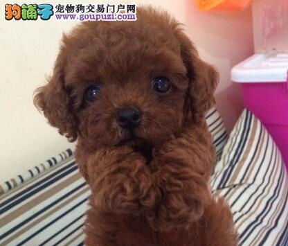 顶级优秀韩系血统泰迪犬宁波狗场热销 多只购买可优惠