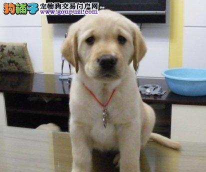 广州出售拉布拉多 导盲犬拉布拉多 纯种健康有保障