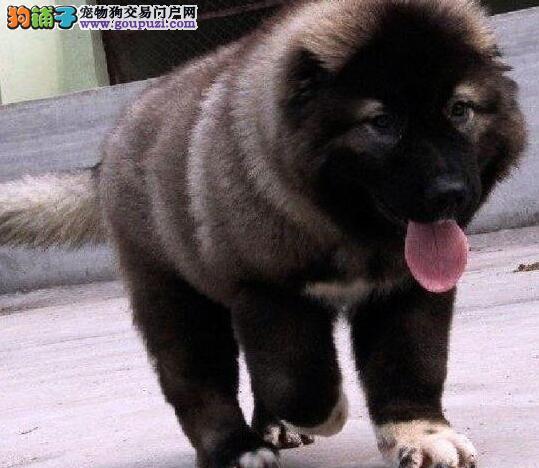 转让狼青色熊版品相的兰州高加索犬 签订正规售后协议