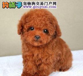 实体店直销精品泰迪犬青岛市区购买可送狗粮
