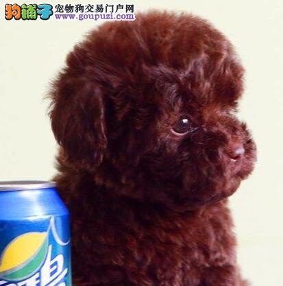 专业犬舍繁殖出售纯种优秀福州泰迪犬 有防疫证明1