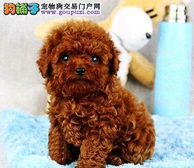 杭州实体店出售品相好的泰迪犬多种颜色可挑选