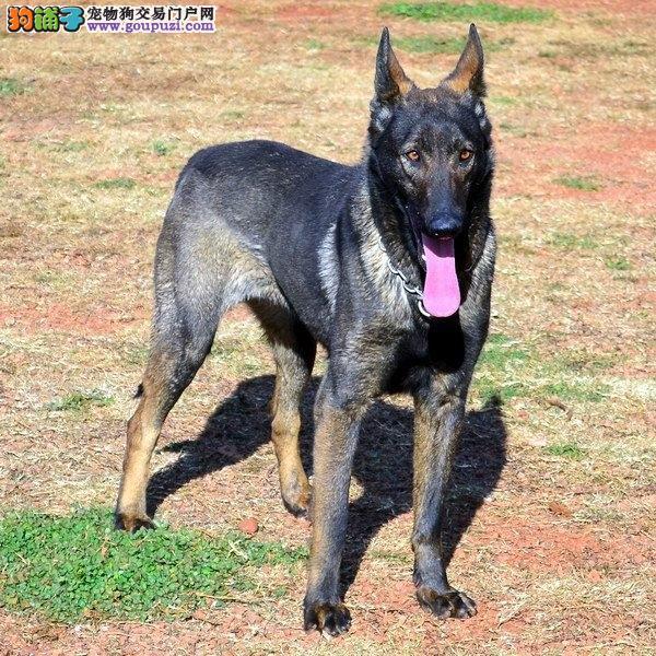 纯血统昆明犬幼犬、CKU认证绝对保障、质保健康90天