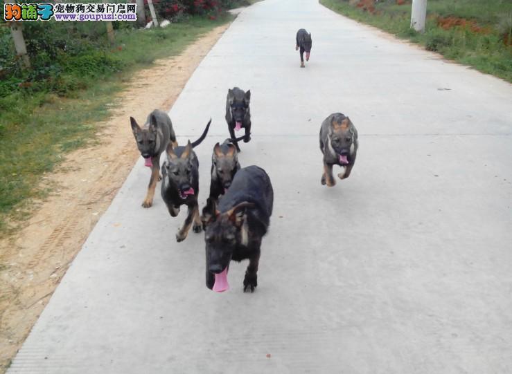 自家繁殖的纯种昆明犬找主人全国当天发货