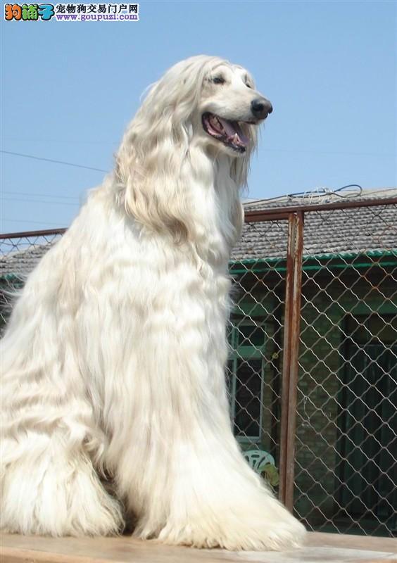 阿富汗猎犬缩略图