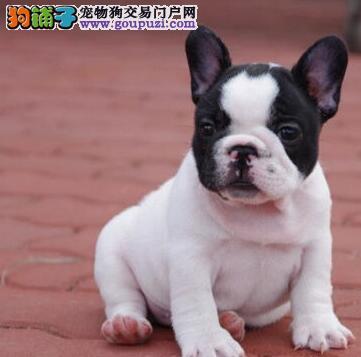 北京售纯种法斗 法国斗牛犬健康质量保证可频看狗包运