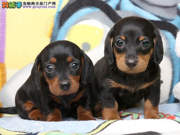 正规犬舍出售极品小体腊肠犬幼犬、保障纯种和健康品质3