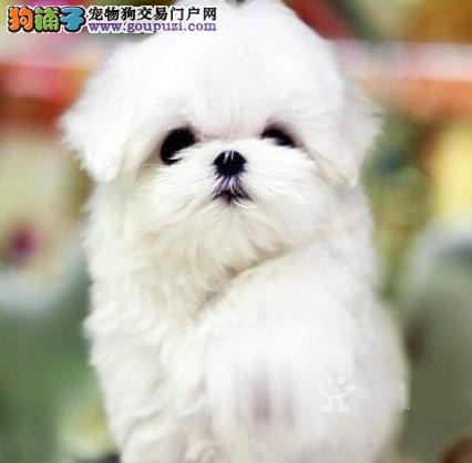 精品高品质高贵马尔济斯幼犬 贵族犬质保纯种健康