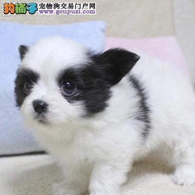 蝴蝶犬纯种健康蝴蝶犬哪里买 蝴蝶犬价格 蝴蝶犬多少钱