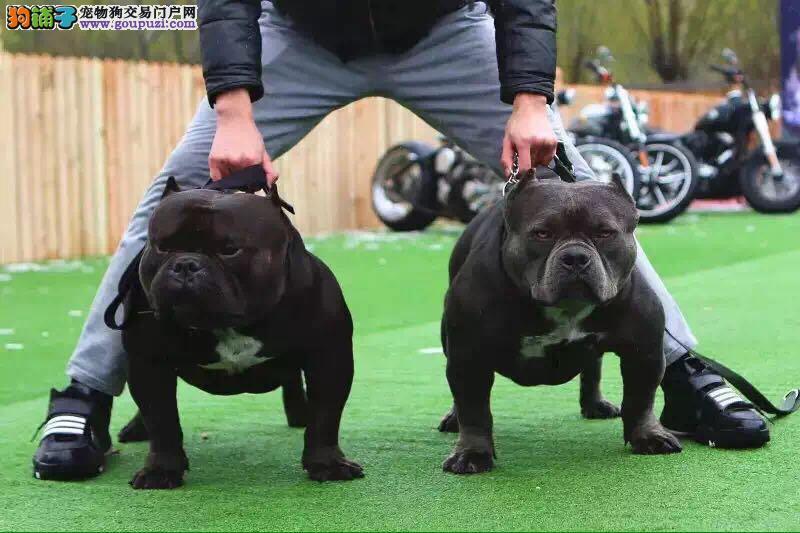美国恶霸纯种恶霸幼犬杜宾罗威纳德牧赛级血统宠物狗