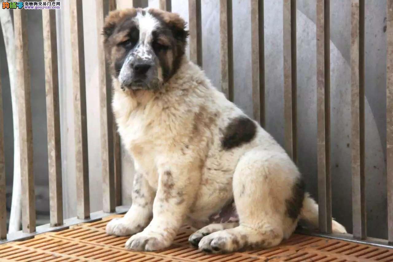 三亚出售优质中亚牧羊犬 想不到的品质 想不到的价格1