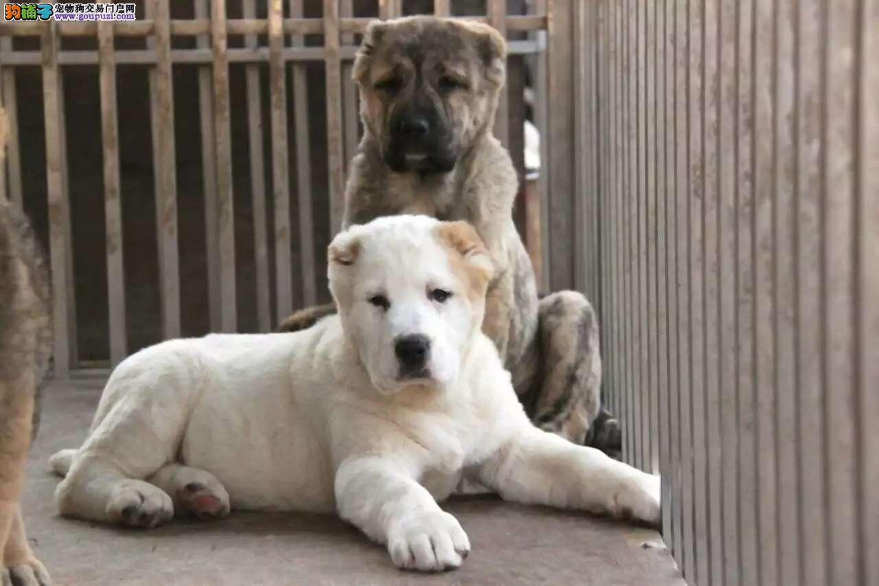 纯种中亚牧羊犬幼崽、疫苗驱虫已做、质保全国送货3
