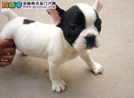 济南出售极品法国斗牛犬幼犬完美品相期待您的光临2