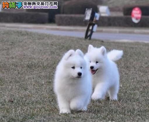 包退包换包治病赛级品质 纯种萨摩耶 成都可送狗