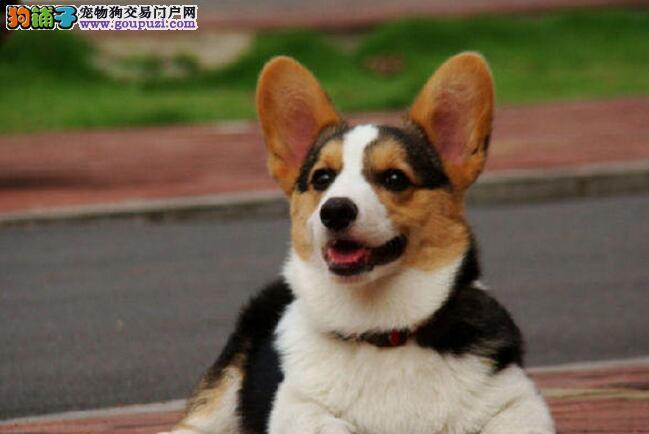 黄冈通脖通缝自家繁殖纯种柯基犬双色三色都有送上门