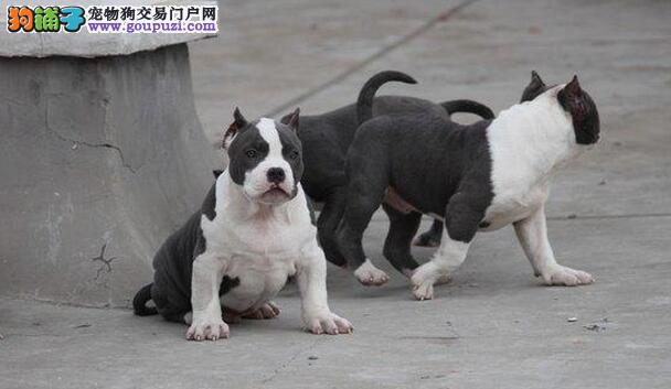 青岛实体店低价促销赛级比特犬幼犬微信看狗可见父母1