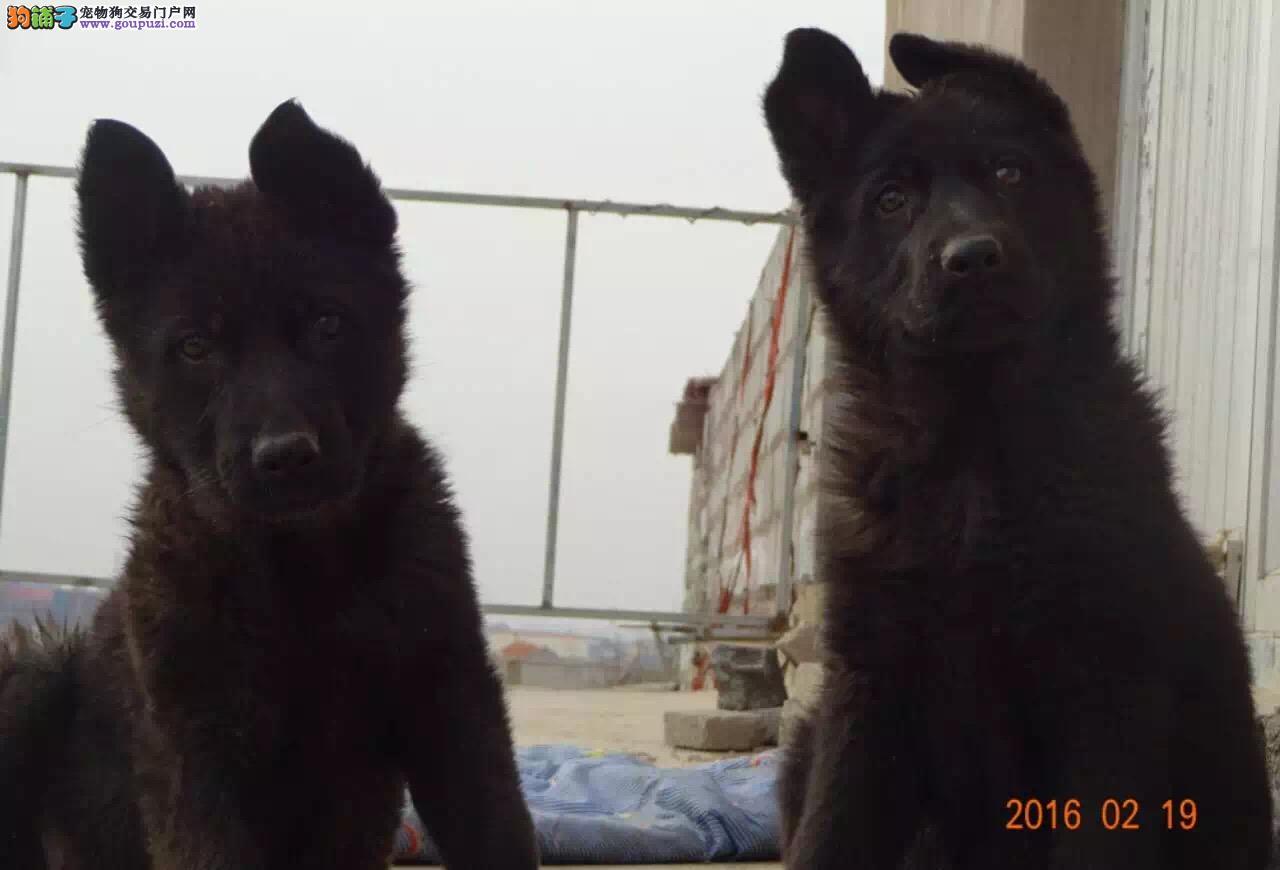 双鸭山市出售纯种比利时牧羊犬 公母都有 可视频看狗