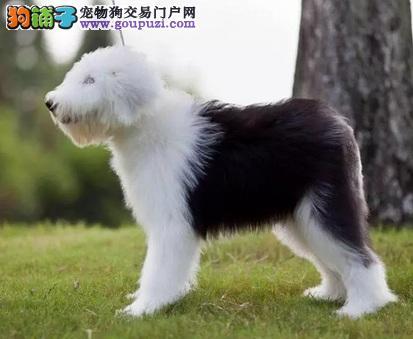 纯种古老牧羊犬 白头通背 花头通背 体态完美
