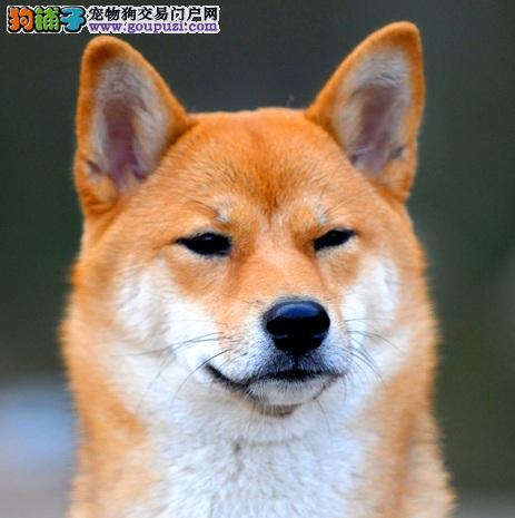 大庆高品质柴犬幼犬带血统出售中 终身质保 可签协议