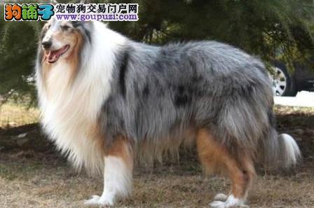贵阳自家养纯种可爱忠诚的苏格兰牧羊犬美丽机智品相好