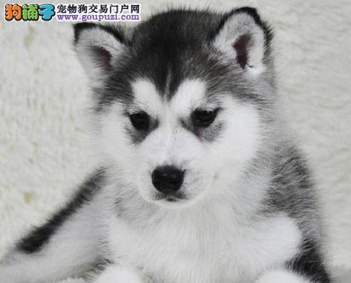 出售双血统赛级高端哈士奇幼犬、健康保证