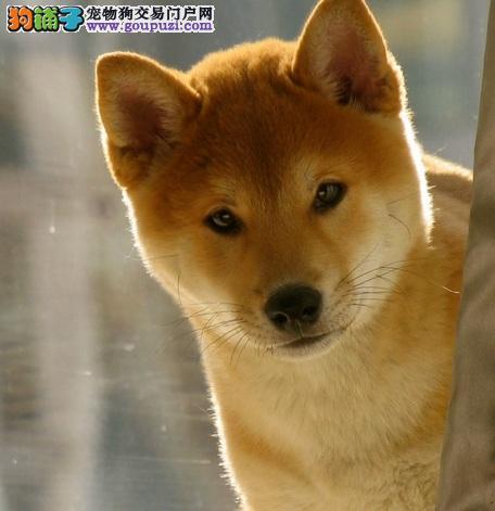 长沙纯正日系柴犬 有证书 保血统 保健康