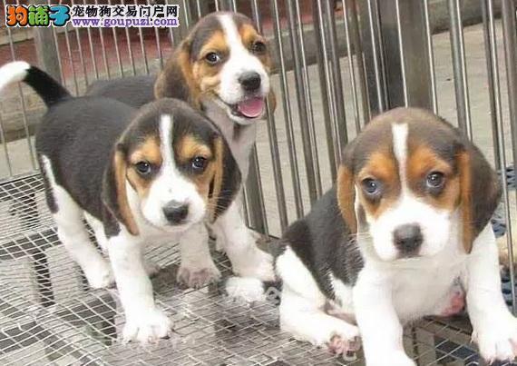 顶级优秀的纯种比格犬热卖中上门可见父母
