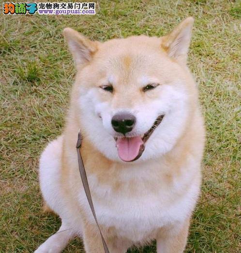 超极品柴犬宝宝 血统好 CKU认证犬 签订购犬协议