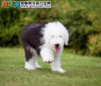 青岛出售精品古牧幼犬纯种血统,签署协议质保三年健康