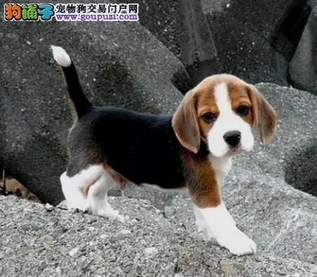 河北省哪里买卖纯种比格幼犬 河北省哪里买到比格小狗