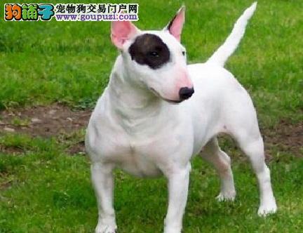 重庆专业繁殖纯种牛头梗 最佳守卫犬梗犬 多只可选