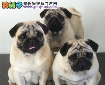 宁波出售自己繁殖八哥犬纯种养活巴哥犬免费送狗上门