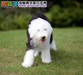 出售自家繁殖古牧幼犬白头花头都有