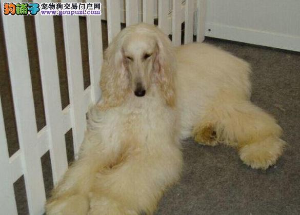 昆明出售纯种阿富汗猎犬保证健康 保证成活 纯种4