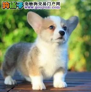 签协议保健康最起码的保障 纯种柯基幼犬 繁殖精品