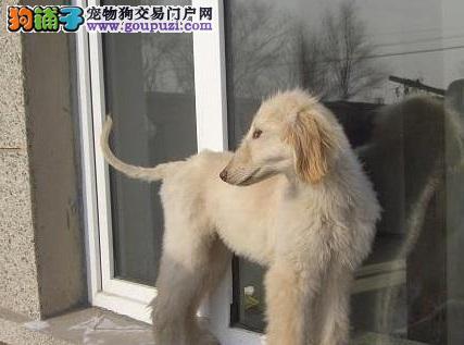 昆明出售纯种阿富汗猎犬保证健康 保证成活 纯种2
