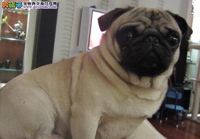 深圳出售高品质巴哥犬 疫苗驱虫做齐 可视频可托运