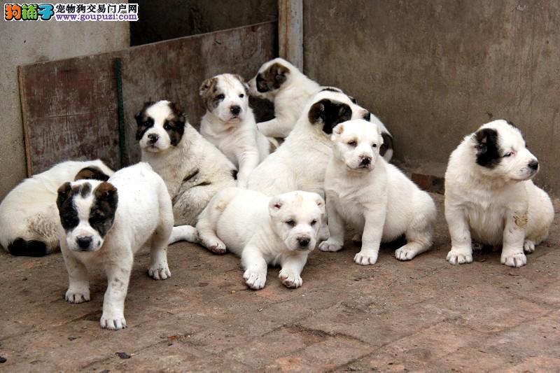 专业正规犬舍热卖优秀的苏州中亚牧羊犬三针疫苗齐全