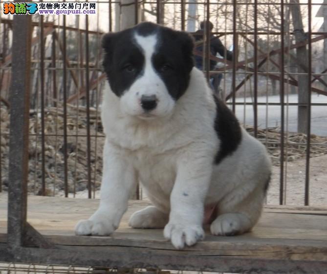 低价热销中亚牧羊犬,三针齐全保健康,签订终身合同