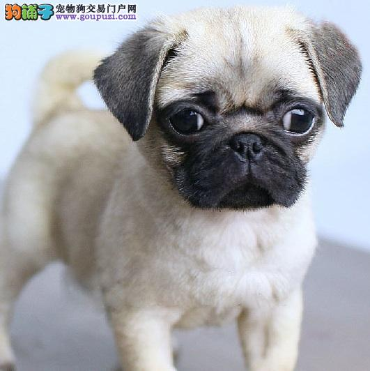 今日半价 丑的可爱巴哥犬做过体检 可上门