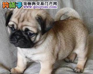 性情平和、快乐、活泼带有忧愁表情的狗狗巴哥犬出售