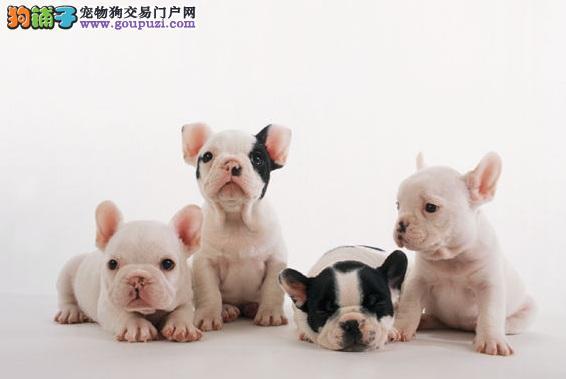 北京专业繁殖法国斗牛犬 颜色齐全多只挑选疫苗打齐