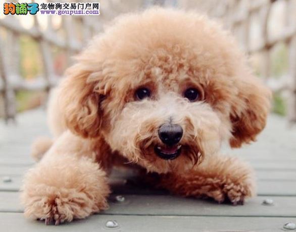 微信视频北京泰迪幼犬火热出售中24小时营业终身售后