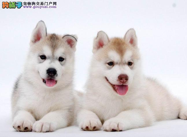 长沙高品质哈士奇幼犬纯种出售 签署质保协议可上门