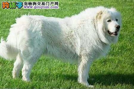 成都市出售大白熊、CKU认证犬舍、包纯种健康 签协议