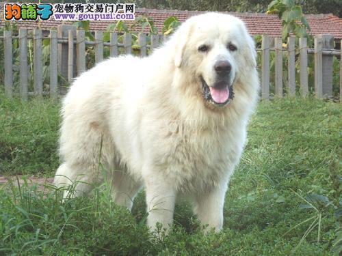 狗场出售大白熊幼犬品相血统一级棒,可全国发货