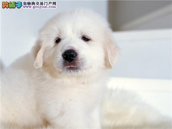 白色的看家大型犬 温顺的大白熊狗狗 适合家里有小孩子
