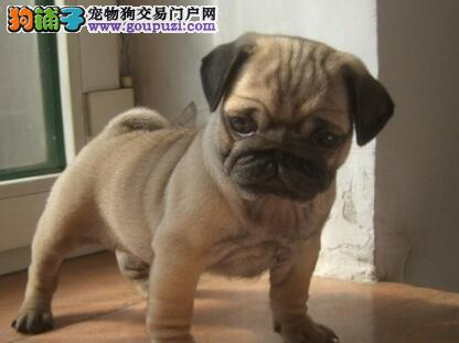 上海纯种憨厚老实巴哥幼犬 虎头满脸褶子 毛色靓好品相