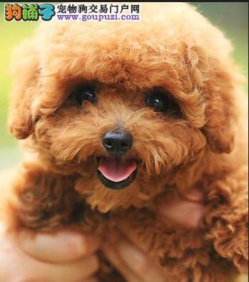 转让茶杯玩具血系的贵阳泰迪犬 建议大家上门选购幼犬1